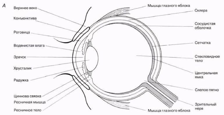 Глаз и его строение – функции и схема органов зрения