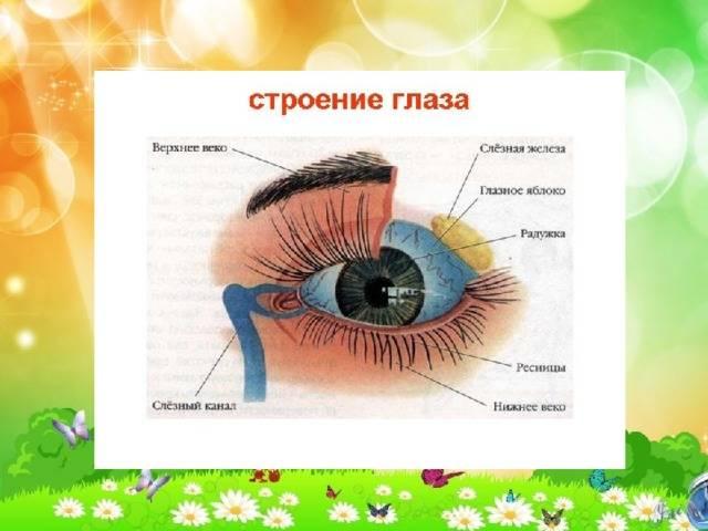 Глазные веки и патологии