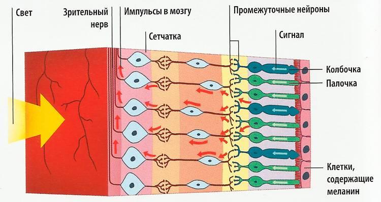 Палочки и колбочки сетчатки глаза - что это, строение, функции