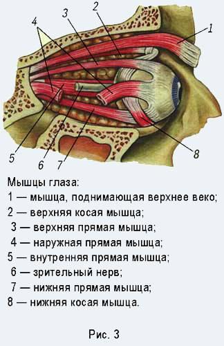 Мышца, поднимающая верхнее веко. анатомия век (слои, мышцы их иннервация и кровоснабжение), функция, методы исследования, характеристика свойств в норме мышца поднимающая верхнее веко иннервирует