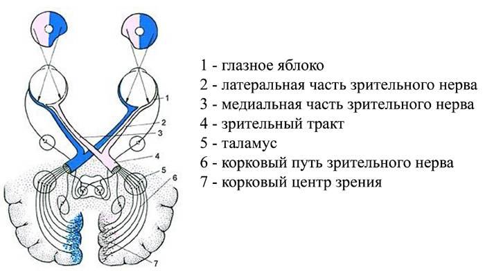 Зрительный нерв: анатомия, место выхода, внутриглазная и внутричерепная части, строение и функции