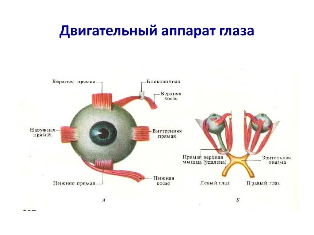 Мышцы глаза - что это такое, их строение и функции