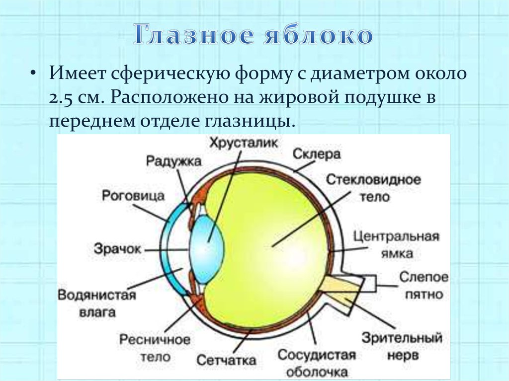 Анатомия глаза, как органа зрения