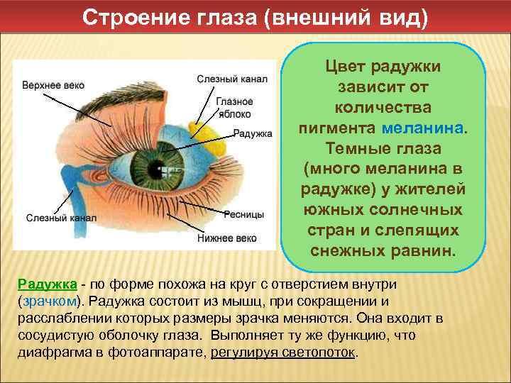 Зрачок глаза, описание, строение, функции зрачка.