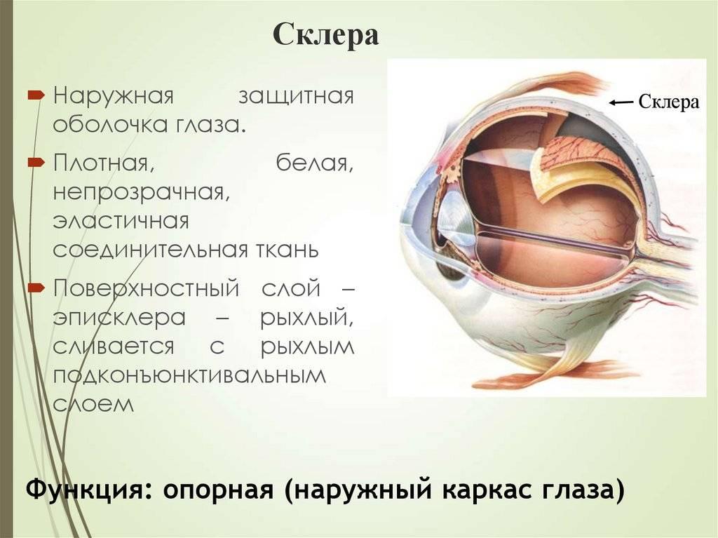 Строение глаза и функции его частей в таблице