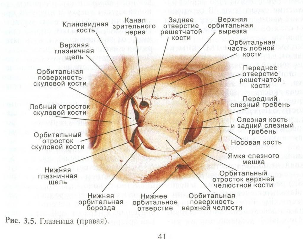 Глазница (орбита). строение, содержимое, сосуды и нервы глазницы. - современная офтальмология
