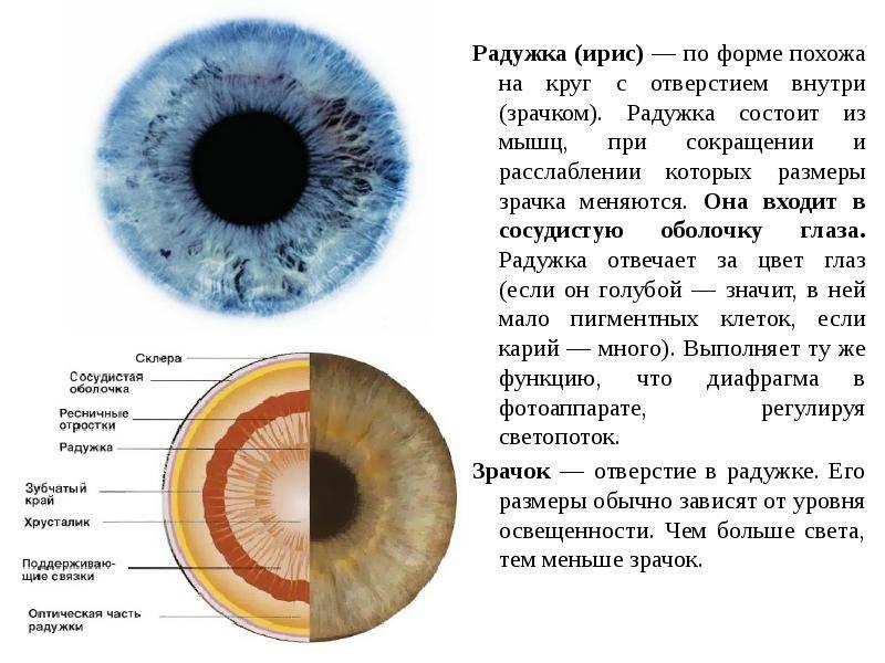 Радужка глаза, описание, определение.