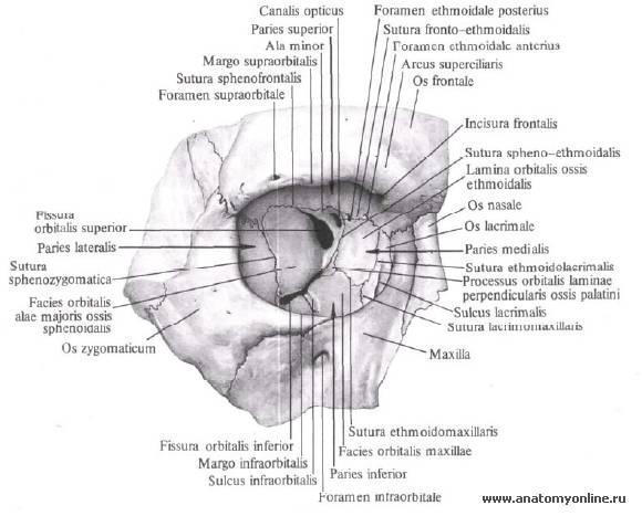 Глазница: строение, анатомические особенности и функции