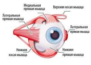 Мышцы глазного яблока человека | анатомия мышц глазного яблока, строение, функции, картинки на eurolab
