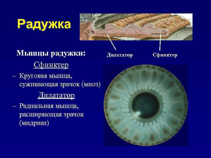Нарушение зрачковых реакций | компетентно о здоровье на ilive