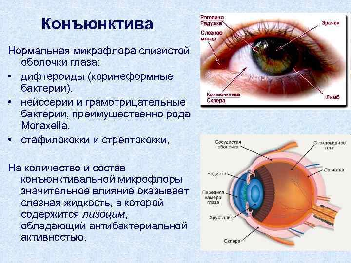 Конъюктивальная полость: что это такое, где она находится в глазу, ее строение и функции