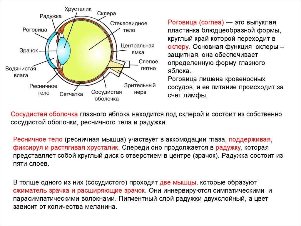 Склерит глаза: виды, причины, симптомы, лечение и осложнения