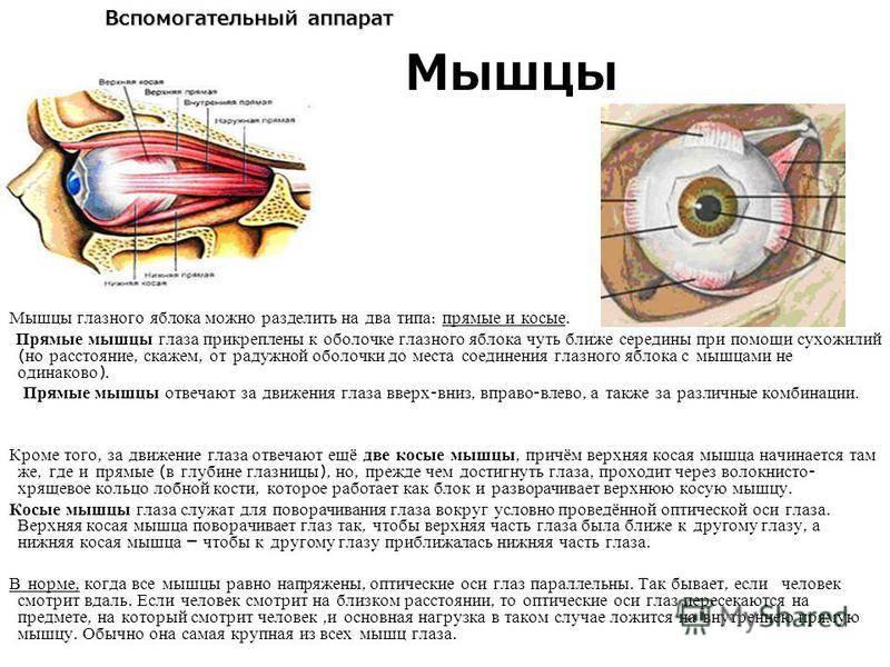 3 мимические мышцы. их развитие, строение, топография, функции, кровоснабжение, иннервация.7(ii) мимические мышцы