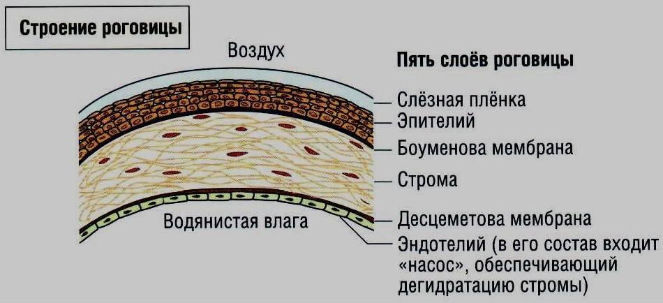 Роговица глаза - строение и функции