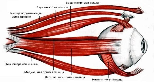 Мышцы глаза, функции, строение, симптомы заболеваний.