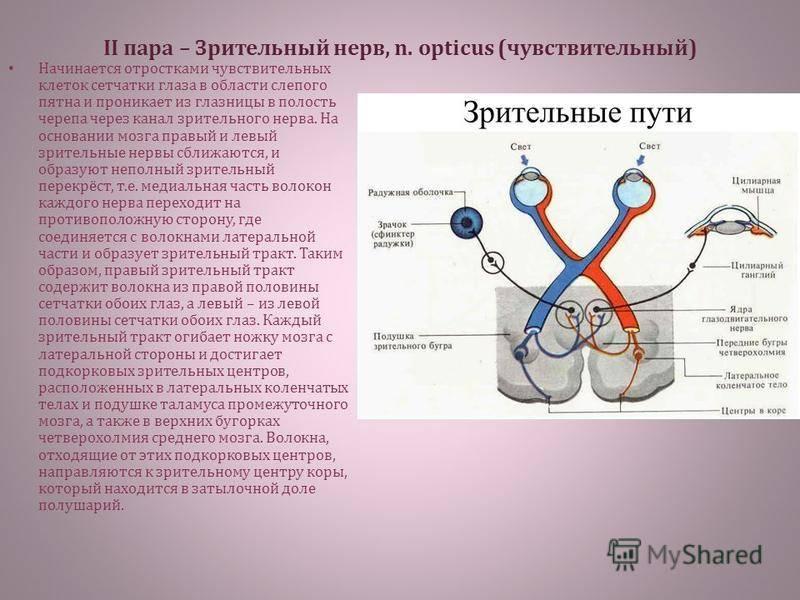 Подглазничный нерв: анатомические особенности, выполняемые функции и возможные заболевания