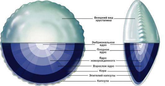 Строение хрусталика глаза - современная офтальмология