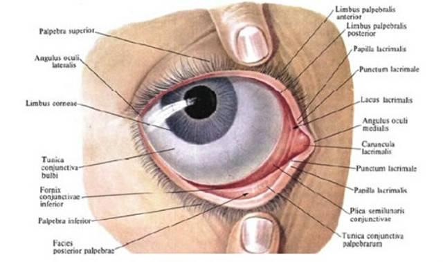 Конъюнктивальный мешок глаза: что это такое, строение и функции