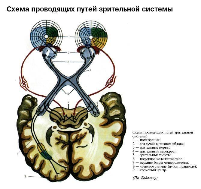 Зрительный нерв - анатомическое строение, функции, патологии