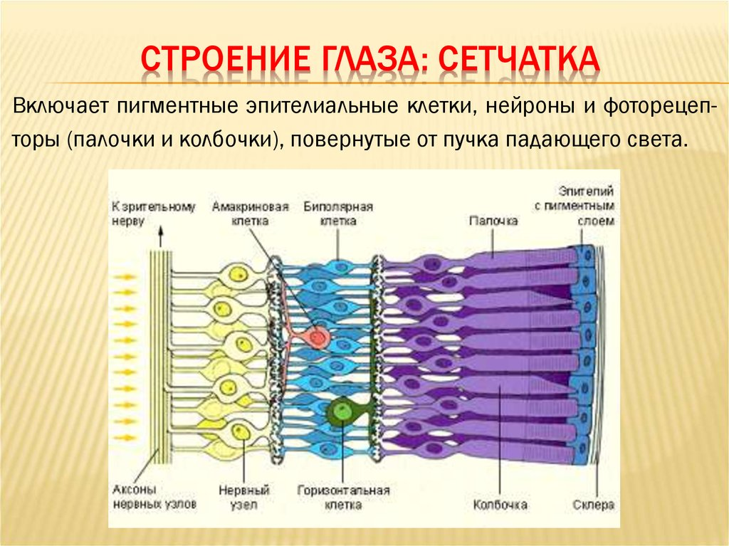 """Сетчатка (сетчатая оболочка) глаза - строение и функции, диагностика и заболевания - сайт """"московская офтальмология"""""""