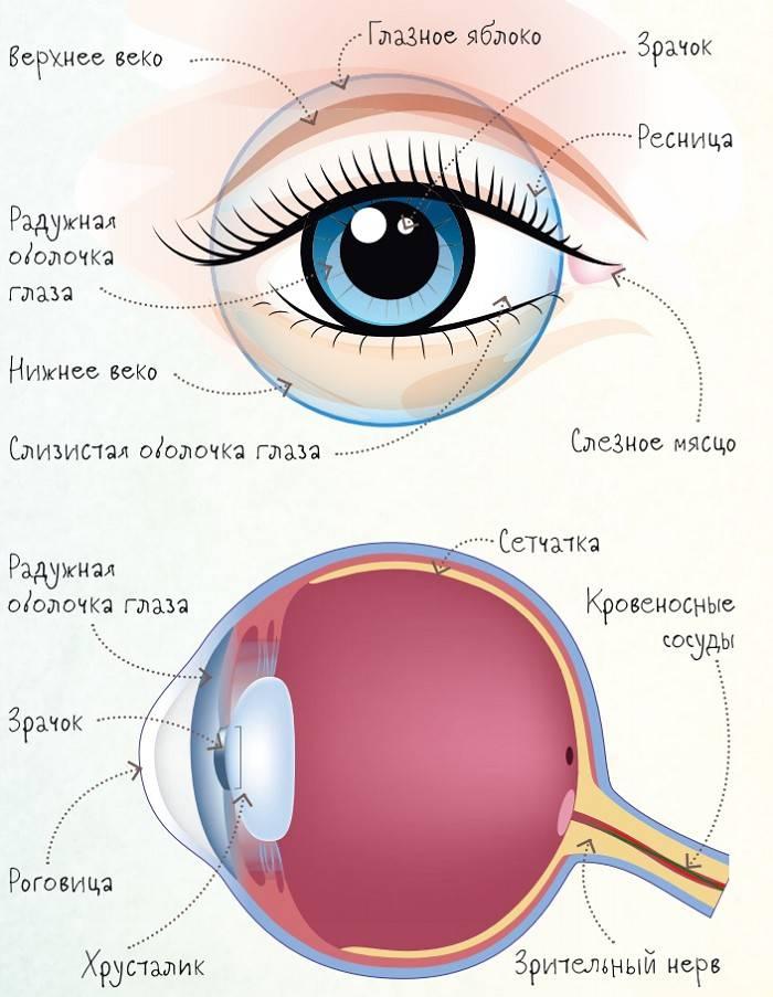 Гетерохромия глаз: центральная, частичная, секторная у людей и животных. как заболеть и изменить цвет радужки.
