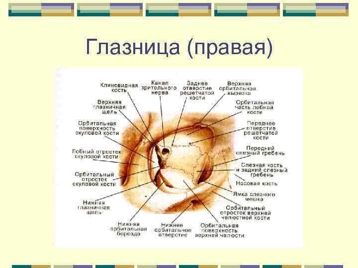 8 кости лицевого черепа. глазница, строение ее стенок, отверстия, их назначение. (ii)кости лицевого черепа. глазница. кости лицевого черепа