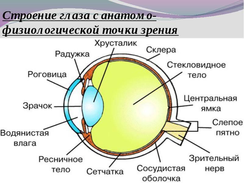 Зрачок глаза человека строение функции лечение