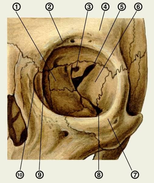 Глазница: анатомия, строение орбиты, кости образующие латеральную, медиальную, верзнюю и нижнюю стенки, швы, топография сосудов и нервов