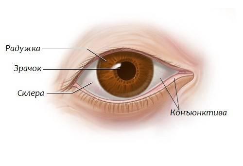 Конъюнктива (слизистая оболочка) глаза – строение и функции