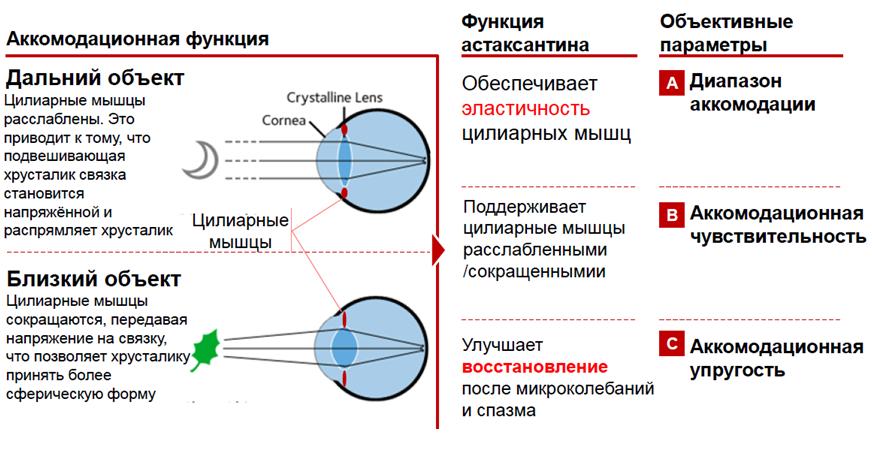 Механизм аккомодации глаза и возможные нарушения