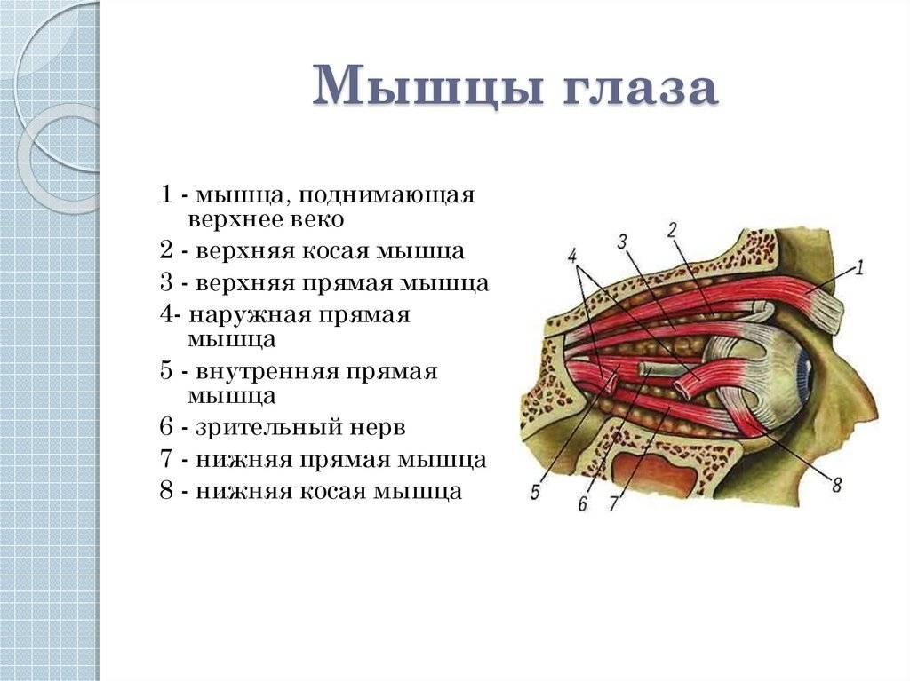 Нижнее и верхнее веки глаз: строение, анатомия, болезни oculistic.ru