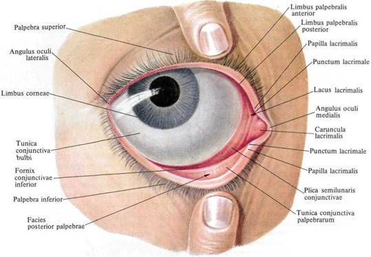 Строение глаза человека. как он устроен? экспертное мнение