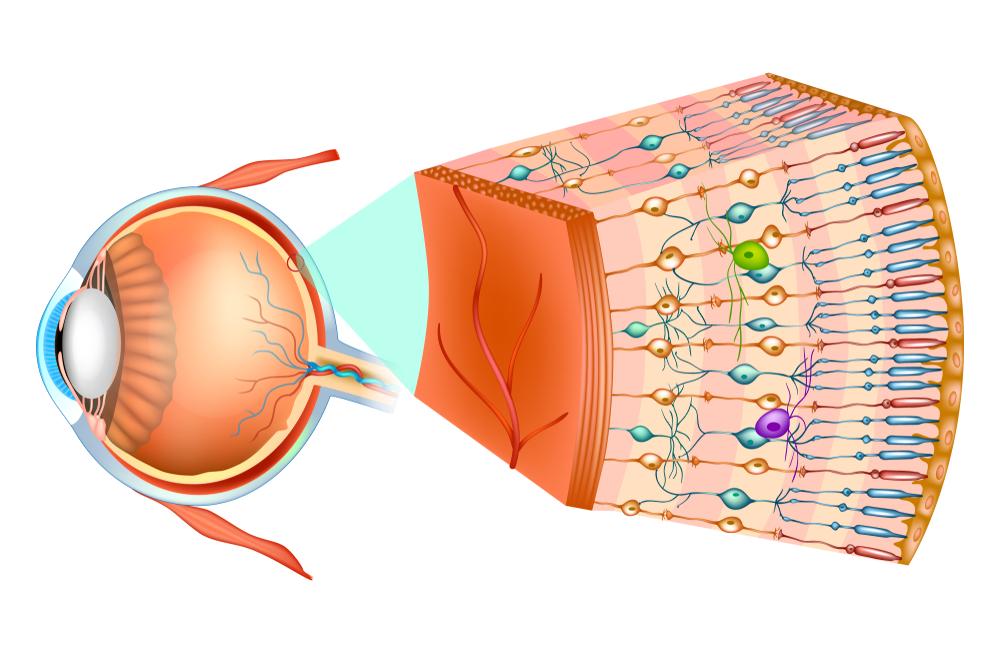 Палочки и колбочки сетчатки глаза строение и функции