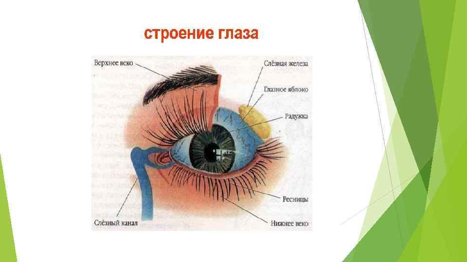 """Строение глазного яблока и его функции - """"здоровое око"""""""