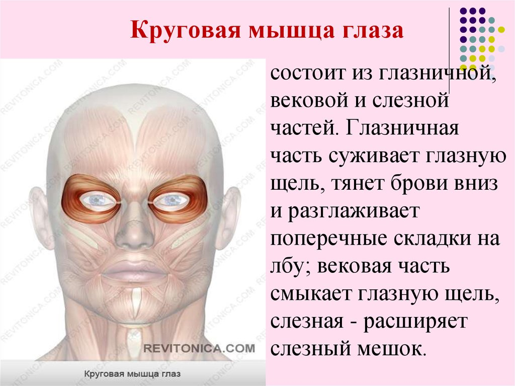 """Мышцы глаза - строение и функции, диагностика и заболевания - сайт """"московская офтальмология"""""""
