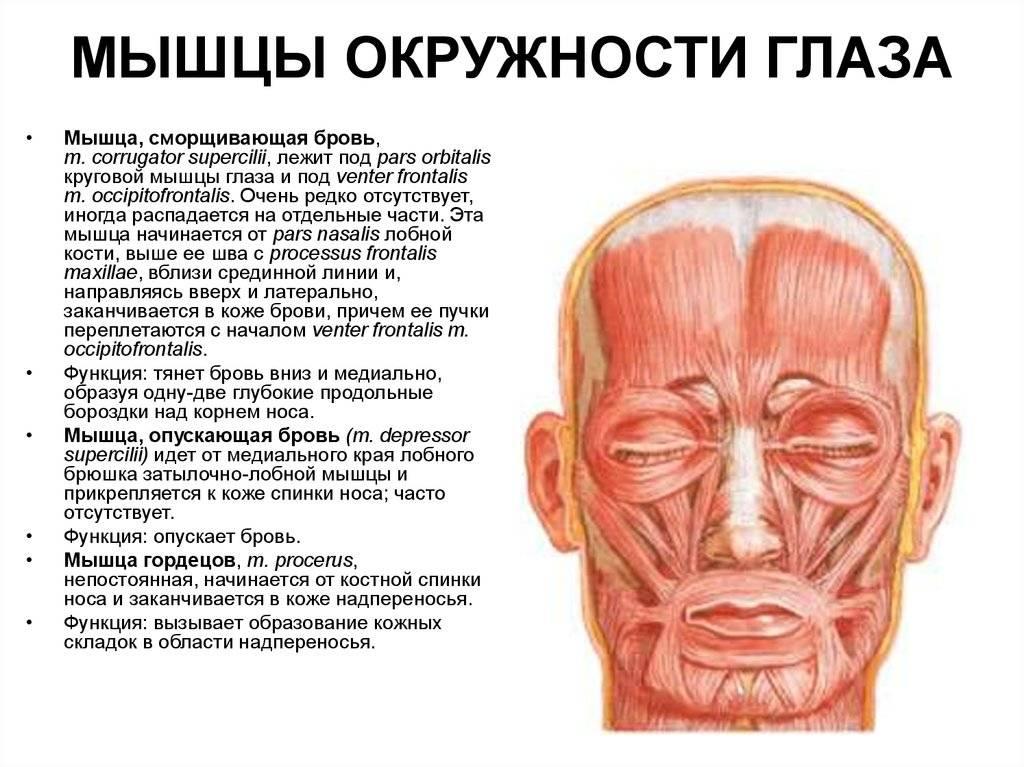 Мышцы глаза: анатомия, потенциальные проблемы и симптомы поражения мышечных волокон