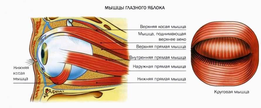 Птоз верхнего века: виды птоза, псевдоптоз, лечение | портал 1nep.ru
