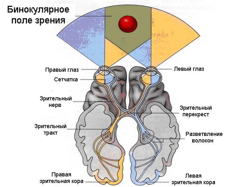 Монокулярное зрение и его отличия от бинокулярного