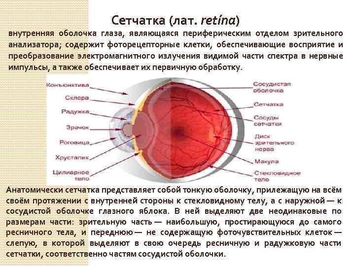 """Сетчатка глаза: строение и функции - """"здоровое око"""""""