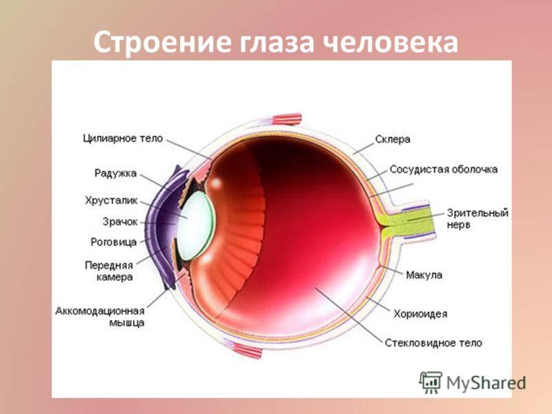 Глазное яблоко человека: особенности строения и функции | анатомия из чего состоит глазное яблоко? | анатомия