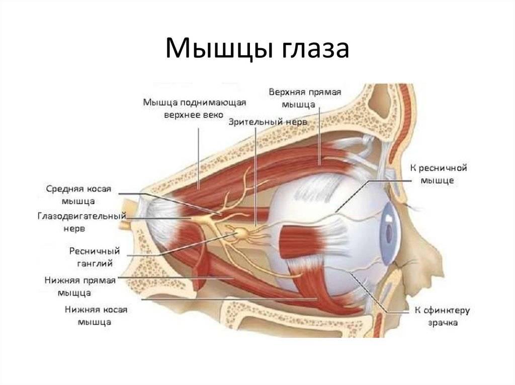 Строение, анатомия и болезни нижнего и верхнего век глаз