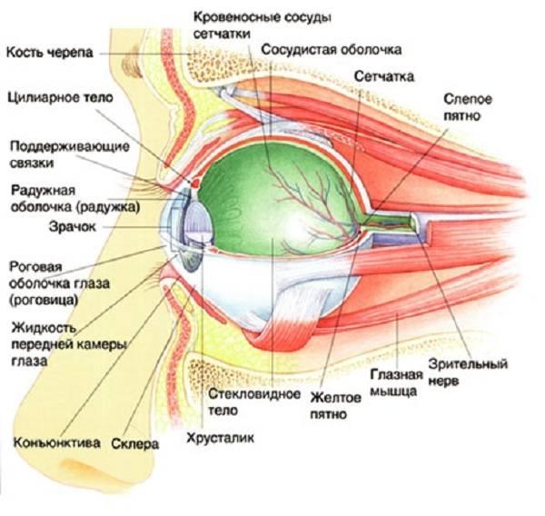 Глаз человека: строение, зрительные функции, анатомия