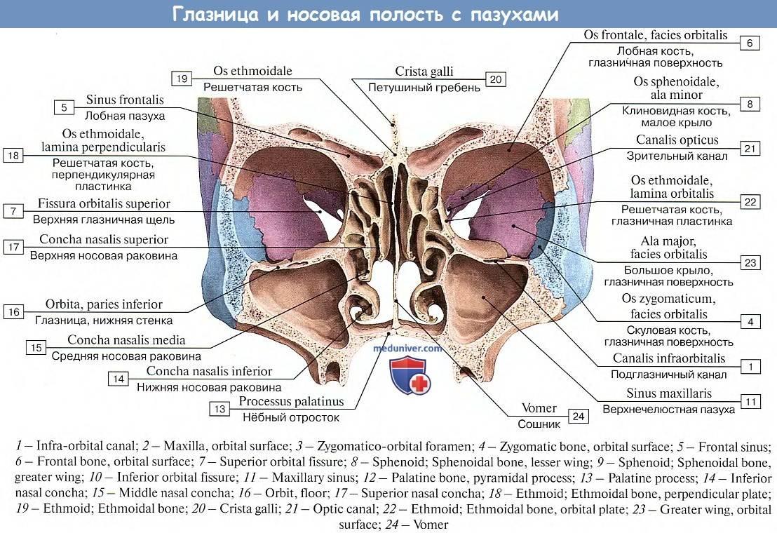 Глазница анатомическое строение стенки отверстия - мед портал tvoiamedkarta.ru
