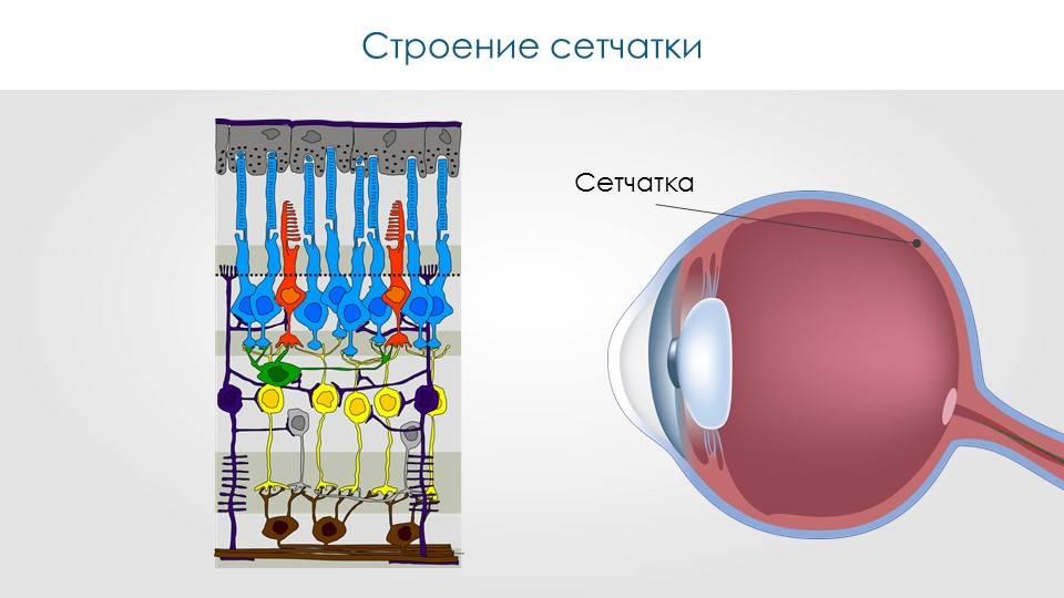 Сетчатка глаза - главные функции, строение, болезни сетчатки глаза.