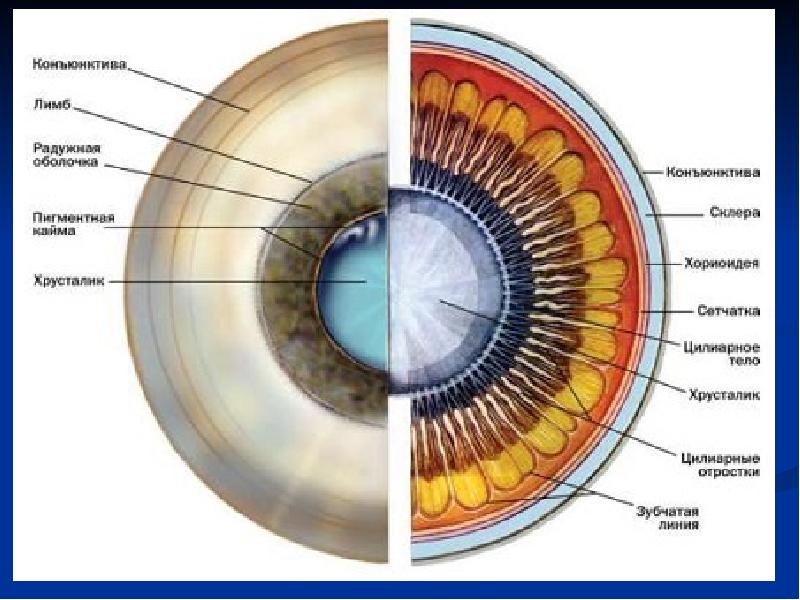 Радужка глаза: что это такое