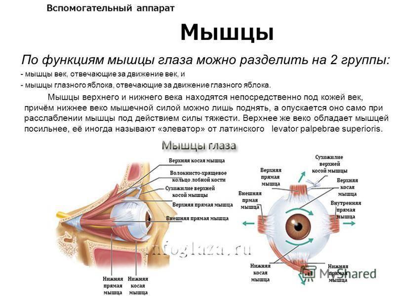 Общая анатомия мышц. мышца как орган. классификация мышц.