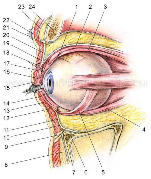 Глазные веки: строение века глаза у человека, их патологии