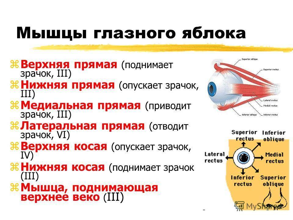 Строение глаза человека - схема анатомии с описанием функций, фото