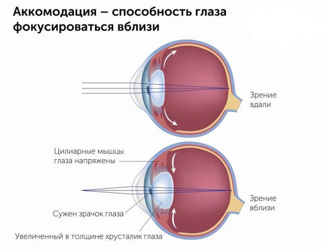 Аккомодация глаза: как работает система зрения?