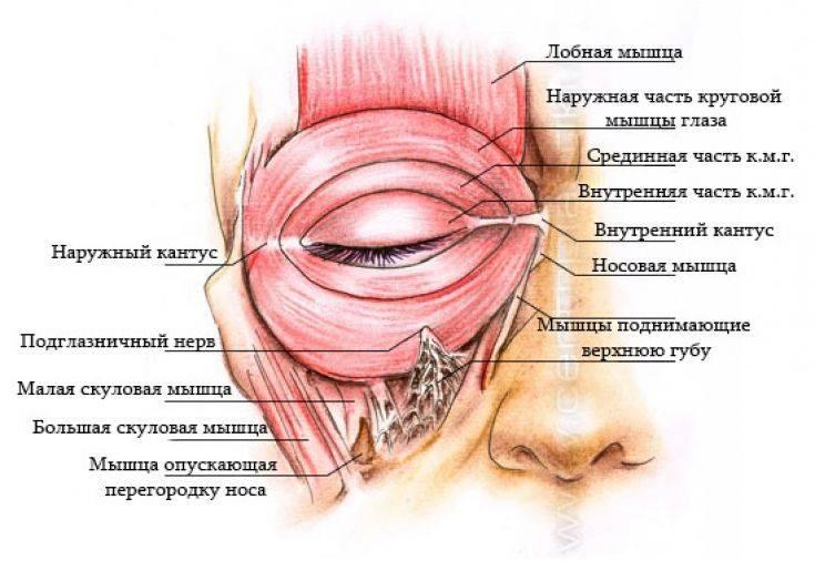 Нижнее и верхнее веки глаз: строение, анатомия, болезни oculistic.ru нижнее и верхнее веки глаз: строение, анатомия, болезни